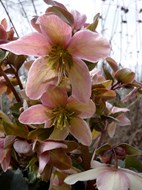 Helleborus - Kerstroos, nieskruid ®Marrion Hoogenboom