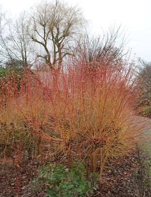 Vlammende Cornus ®Marrion Hoogenboom